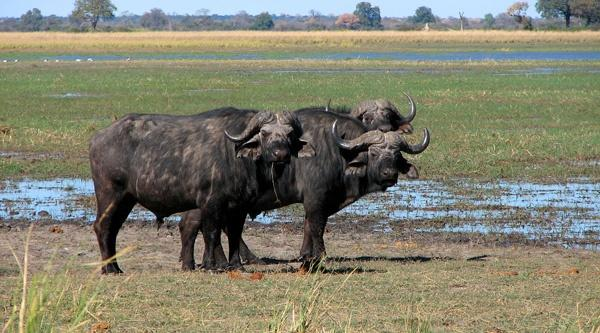 African Buffalo in the Buffalo Core Area