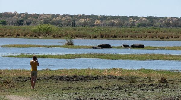 Hippos in the Mahango Game Park