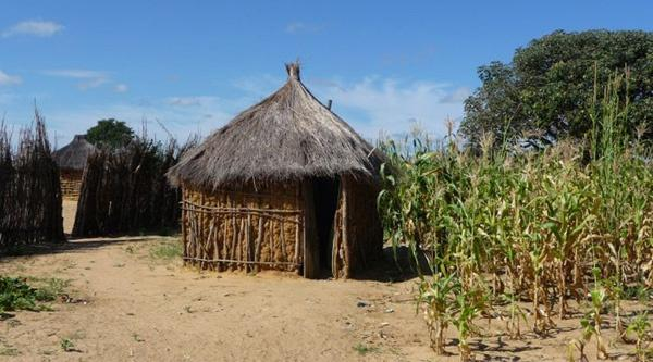 Traditional houses and maize plants