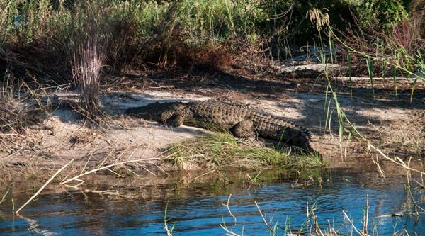 Croc at Mobola Island